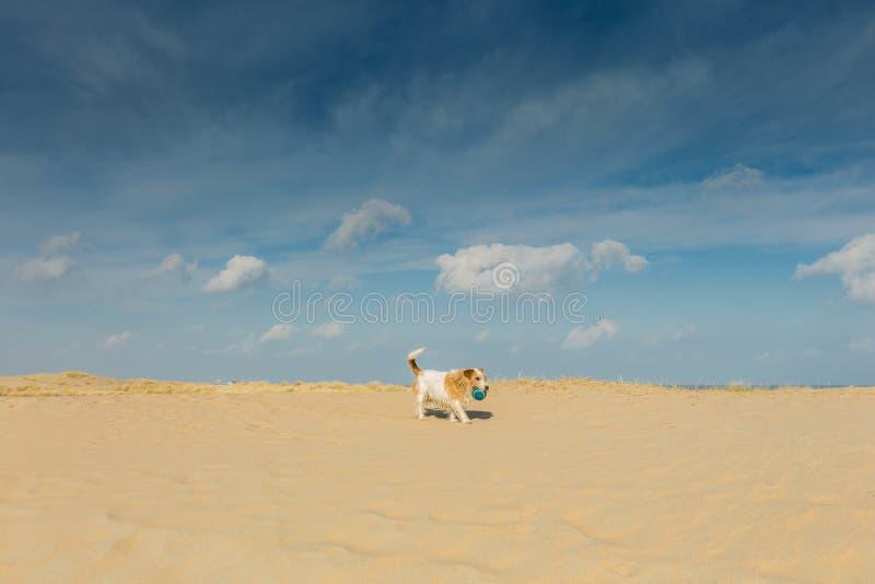 在海滩的小的流浪狗 库存照片