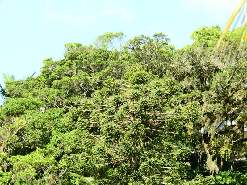 在海滩的杉木绿色杉木 库存照片