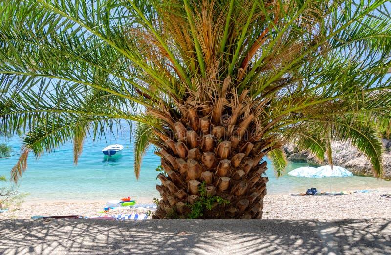 在海滩的棕榈树在马卡尔斯卡的里维埃拉,达尔马提亚,克罗地亚Brela 图库摄影