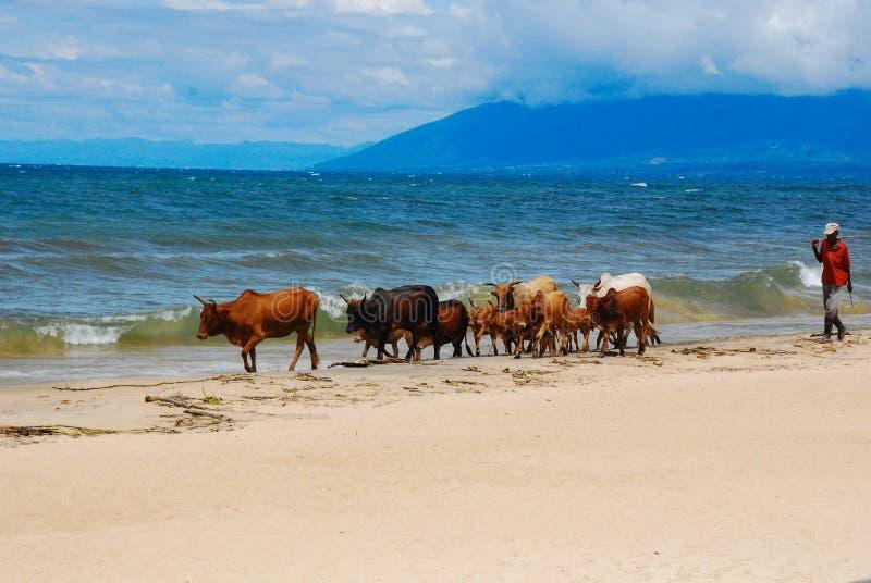 在海滩的母牛 免版税库存图片