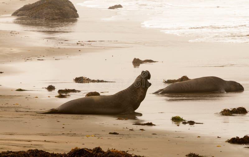 在海滩的海象在加利福尼亚 库存照片