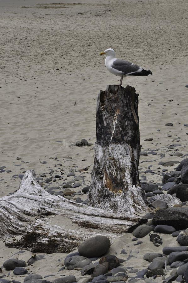 在海滩的海鸥在俄勒冈 库存图片
