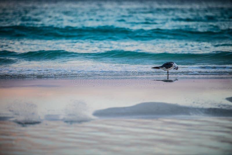 在海滩的海鸥在清早 库存图片