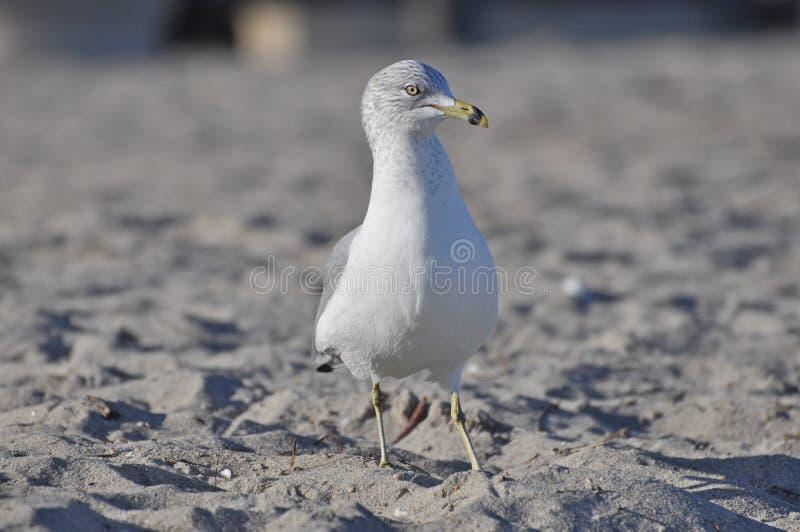 在海滩的海鸥鸟 免版税图库摄影