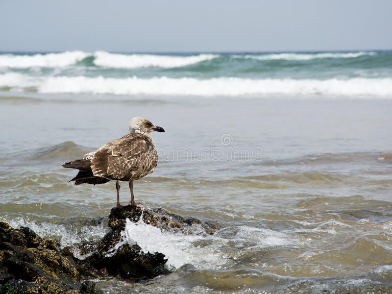 在海滩的海鸥,兰萨罗特岛,西班牙 免版税库存照片