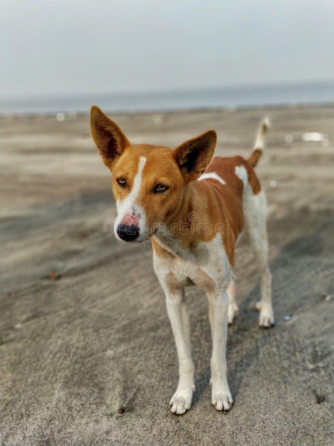 在海滩的狗 免版税库存照片