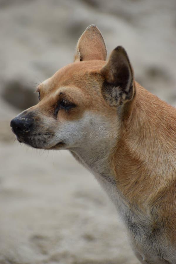 在海滩的美丽的街道狗在会安市在越南,亚洲 免版税库存图片