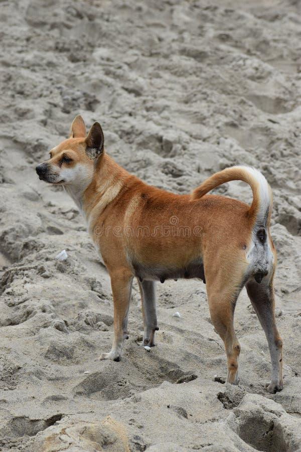 在海滩的美丽的街道狗在会安市在越南,亚洲 库存照片