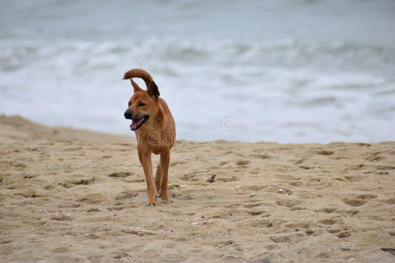 在海滩的美丽的街道狗在会安市在越南,亚洲 免版税库存照片