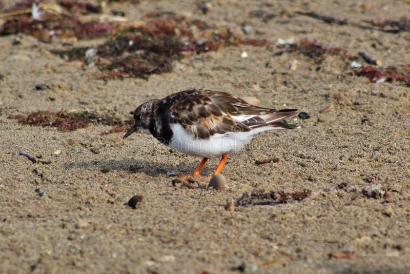 在海滩的翻石鹬鸟 库存照片