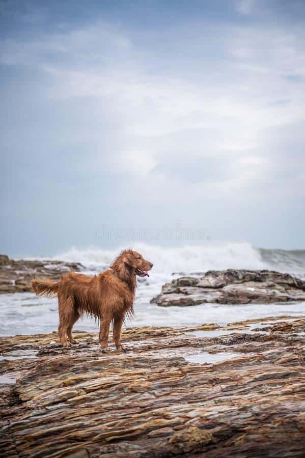 在海滩的金毛猎犬 图库摄影