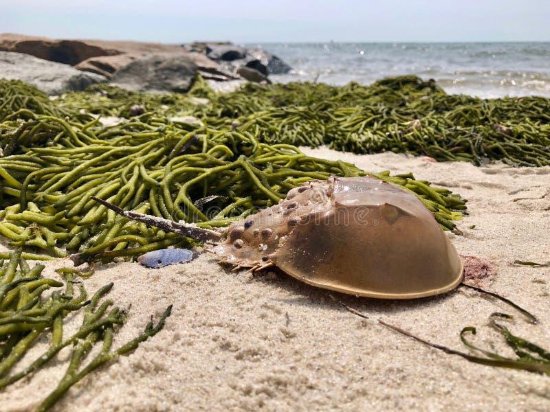 在海滩的鲎 库存图片