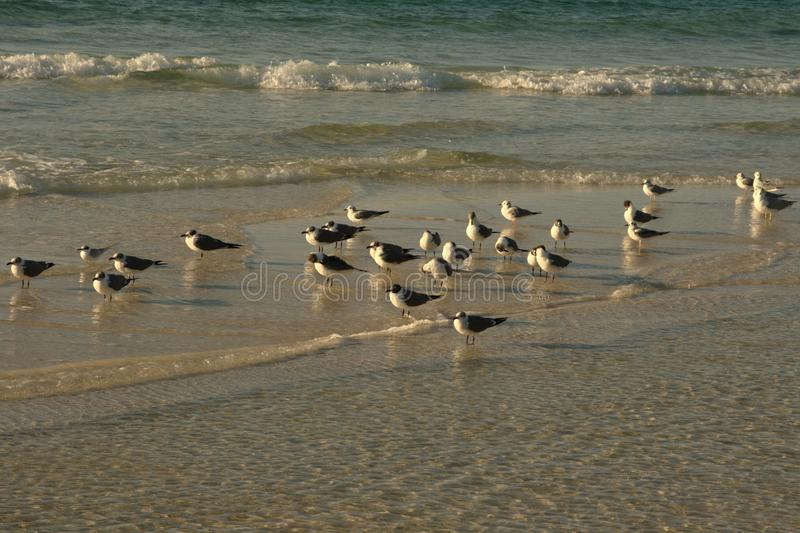 在海滩的鸟, Ft 华尔顿海滩FL 库存照片
