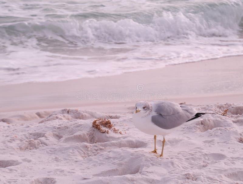 在海滩的鸥 免版税库存照片