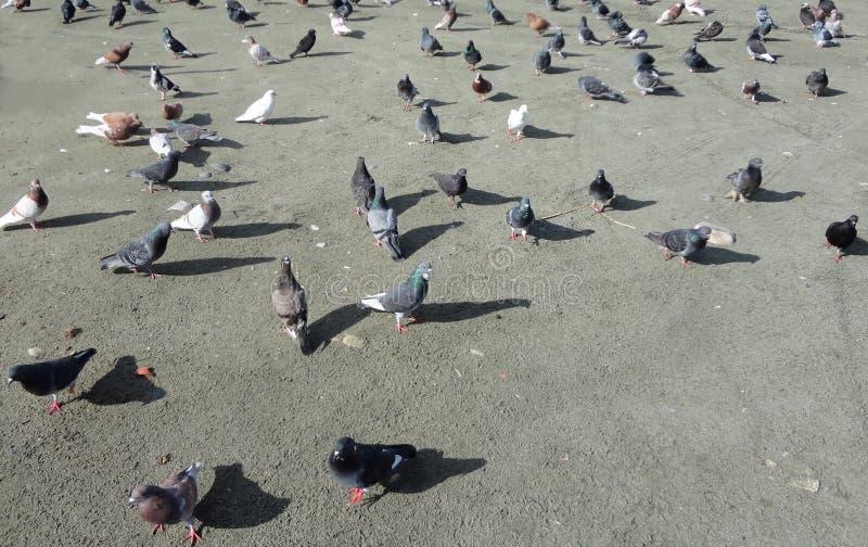 在海滩的鸽子在塞浦路斯 免版税图库摄影