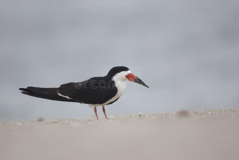 在海滩的黑漏杓 库存图片