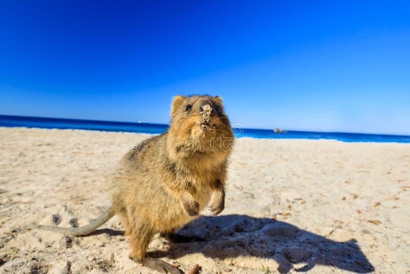 在海滩的Quokka 库存图片