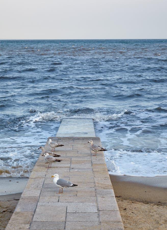 在海滩码头的海鸥 Lyme regis 英国 库存图片