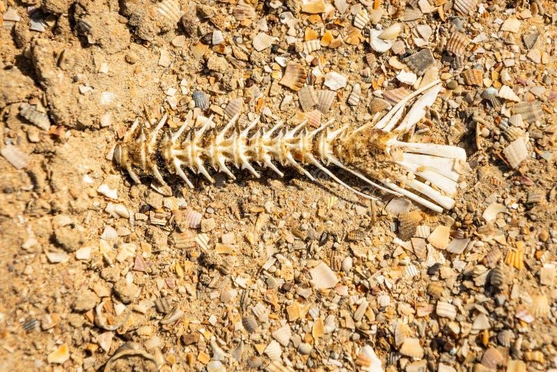 在海滩,天旱,死的鱼的鱼骨 免版税库存照片