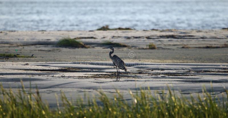 在海滩,希尔顿黑德岛的伟大蓝色的苍鹭的巢剪影 免版税库存图片
