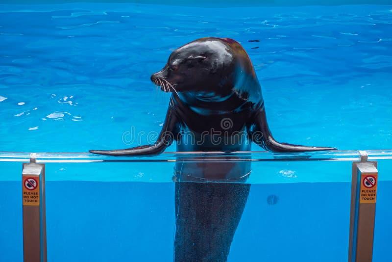 在海狮高展示的讨人喜欢的海狮在Seaworld 2 免版税库存照片