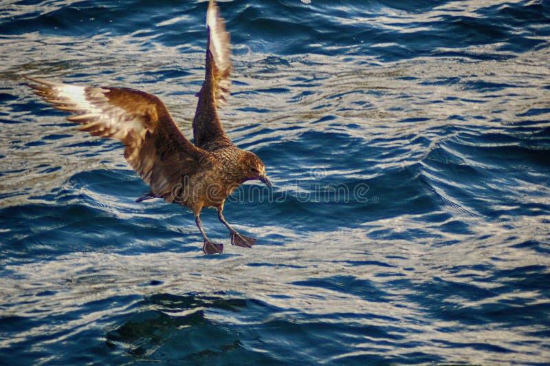 在海的大贼鸥Bonxie 免版税库存图片