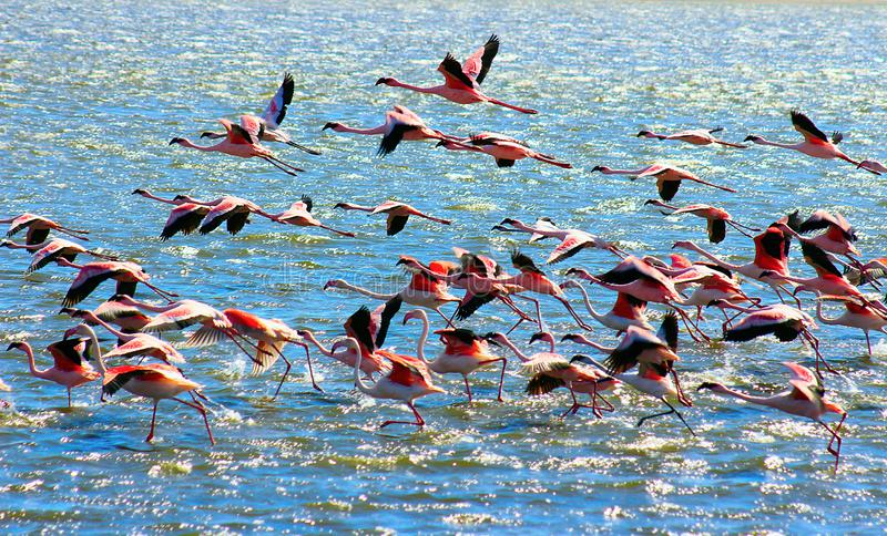 在海的美丽的非洲桃红色火鸟飞行 免版税库存照片
