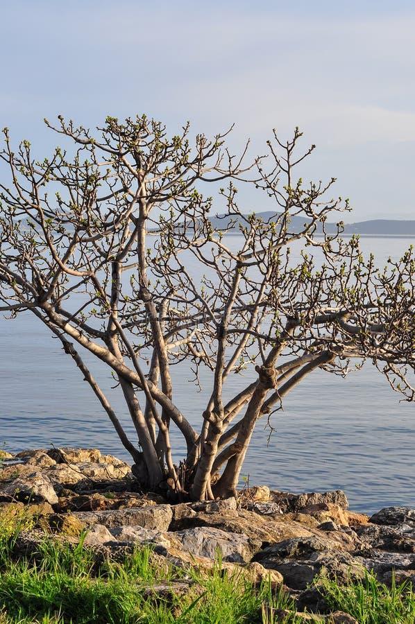 在海的老树 库存照片