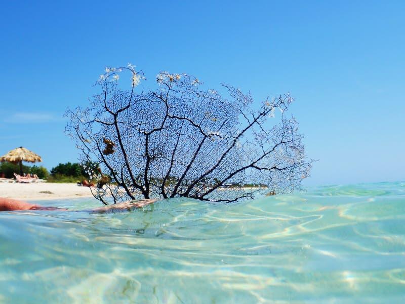 在海的黑珊瑚海爱好者肘海滩的,特立尼达,古巴 库存照片