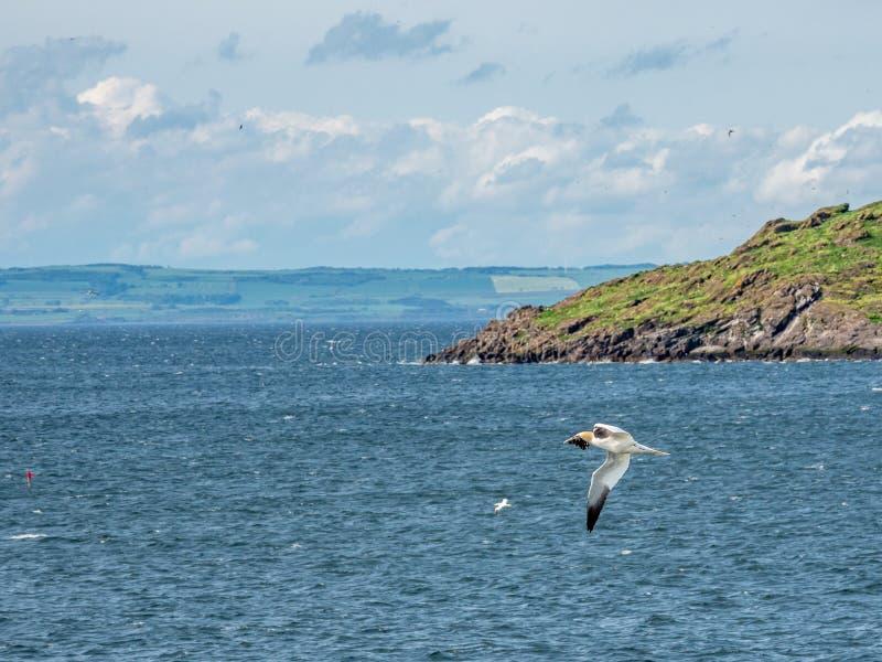 在海的Gannet飞行在低音岩石附近 北部贝里克,苏格兰 库存照片