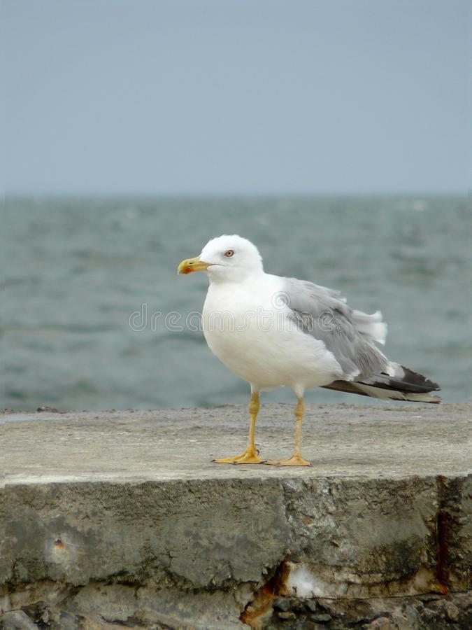 在海石头码头的大孤独的海鸥在海和天空蔚蓝的背景 免版税图库摄影