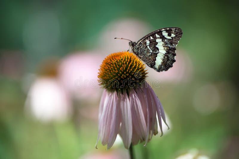 在海胆亚目花的一大蝴蝶线蛱蝶属populi在庭院里 免版税库存照片