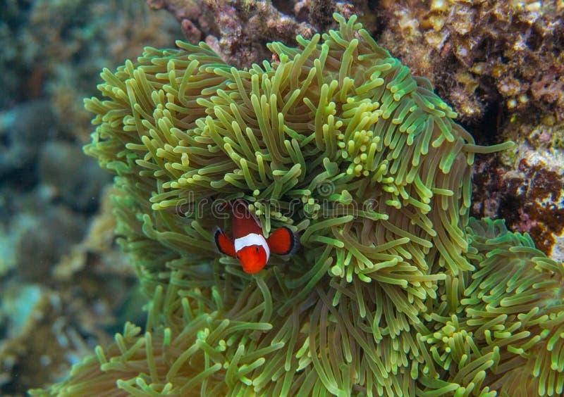 在海葵属的橙色clownfish 珊瑚礁水下的照片 在银莲花属的小丑鱼 潜水热带的海滨潜航或 免版税库存图片