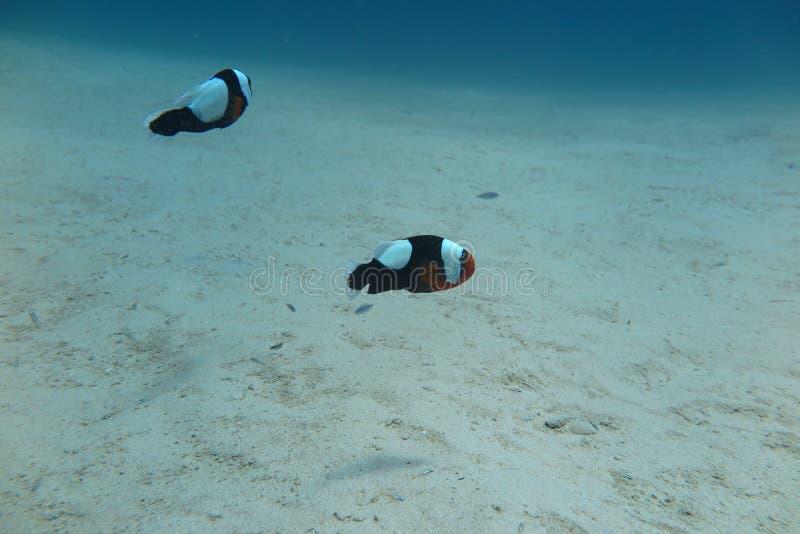 在海葵的Clownfish 库存照片