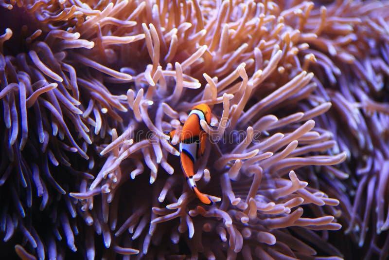 在海葵背景的Anemonefish 库存照片