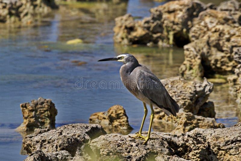 在海角范围国立公园的共同的面无血色的苍鹭 免版税库存图片