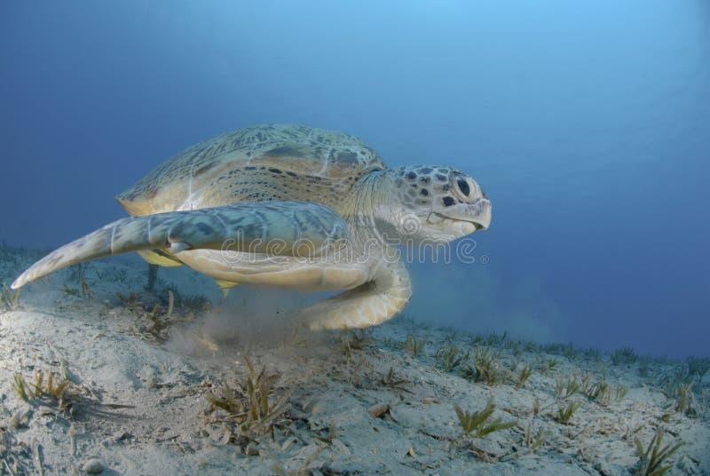 在海运海草游泳乌龟的河床绿色 图库摄影