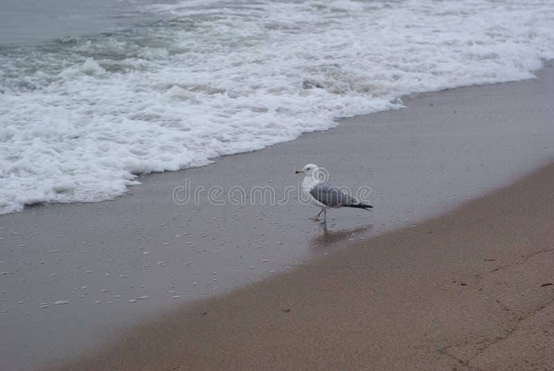 在海附近的一只孤独的海鸥 库存照片
