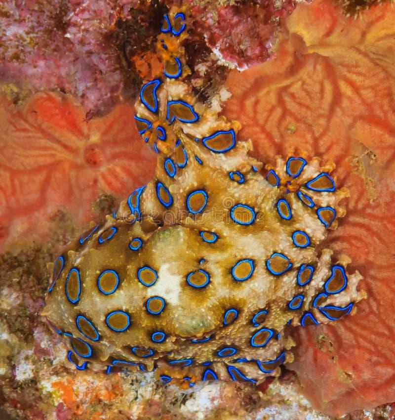 在海难的蓝色圈状的章鱼 免版税库存图片