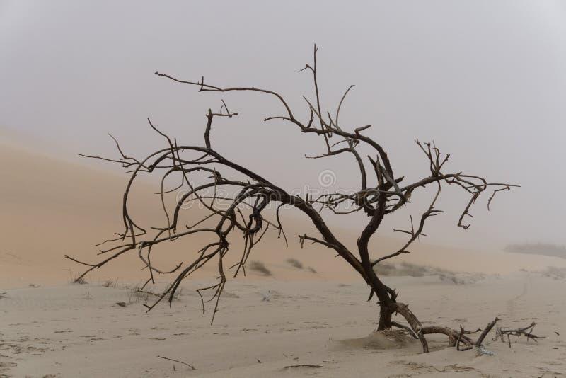 在海雾的被诅咒的树,纳米比亚 库存照片