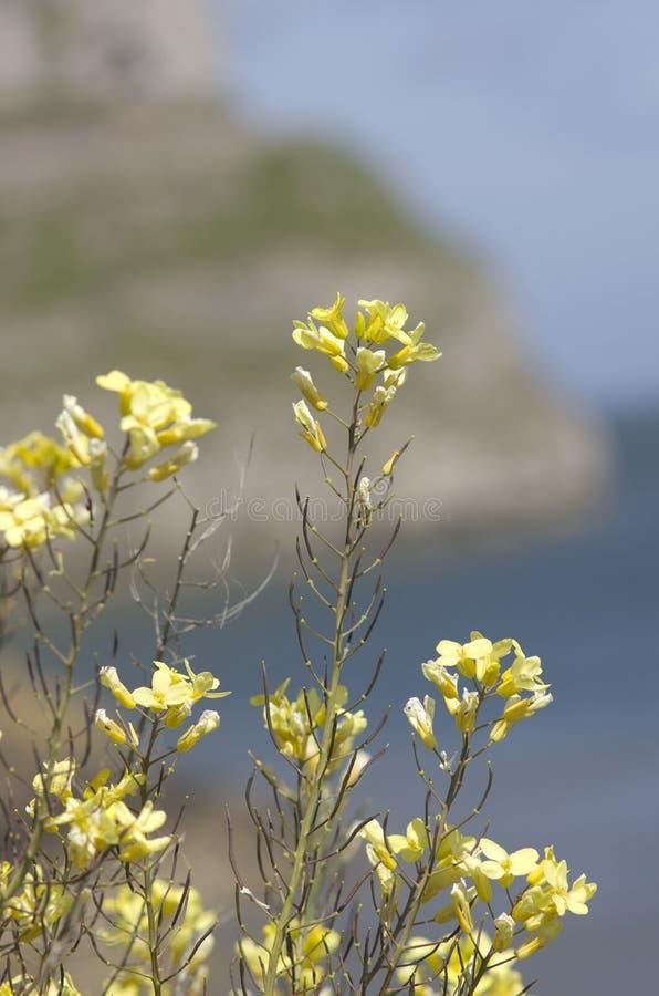 在海,海岸的狂放的黄色花 库存图片