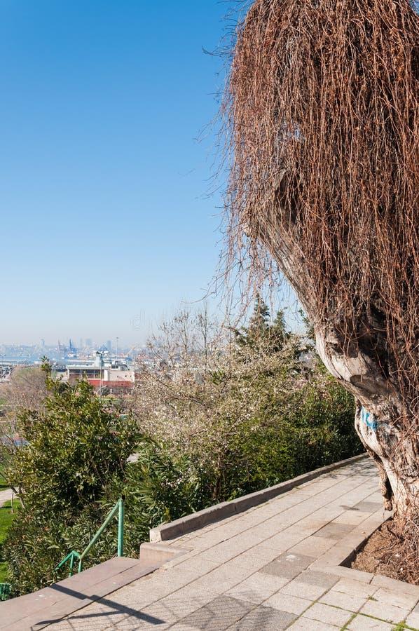 在海滨公园的老树 免版税图库摄影