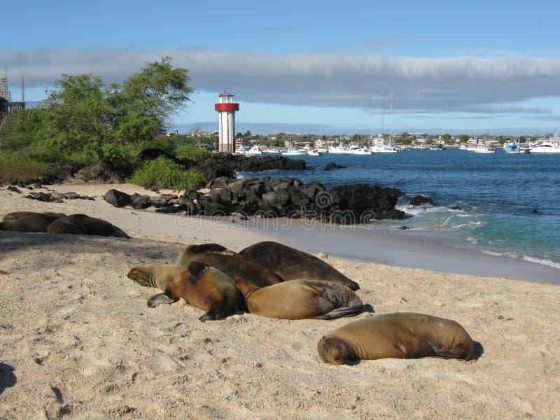 在海滩圣克里斯托瓦尔,加拉帕戈斯群岛的海狮 库存照片