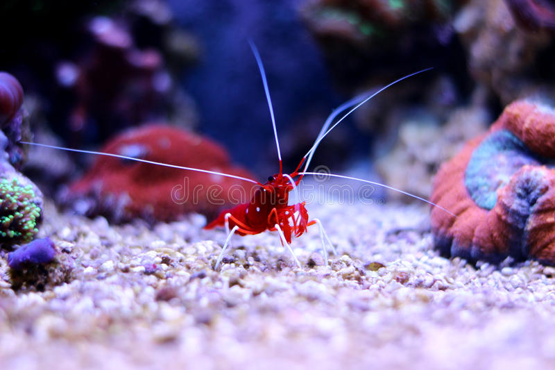 在海洋水族馆的红色虾 库存照片