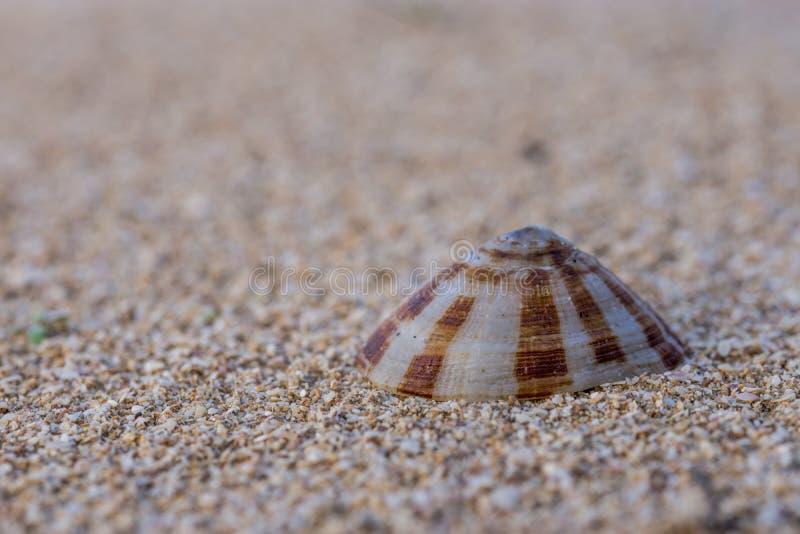 在海滩沙子的镇静壳 图库摄影