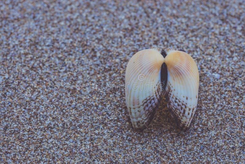 在海滩沙子的镇静壳 库存图片