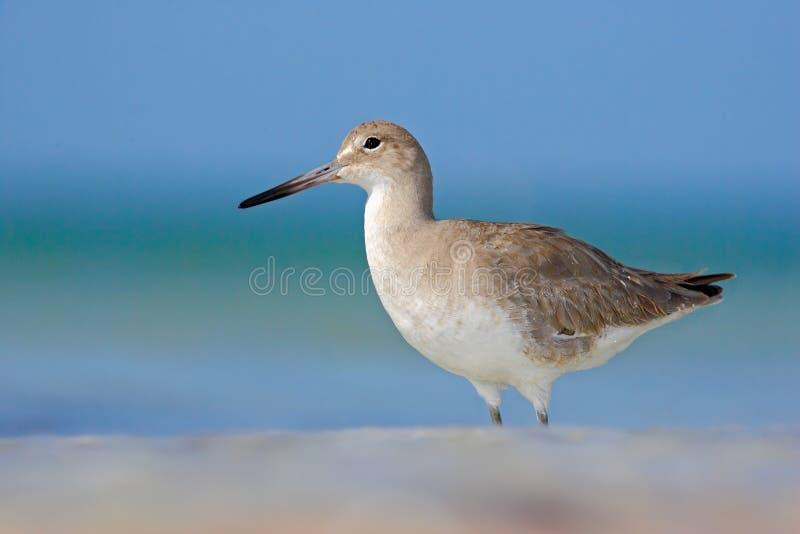 在海洋海岸白色鸟的动物在沙子海滩 从佛罗里达,美国的美丽的鸟 与海浪的鸟 蓝色表面与 库存图片