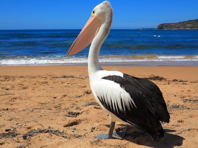 在海滩特写镜头的鹈鹕 免版税图库摄影