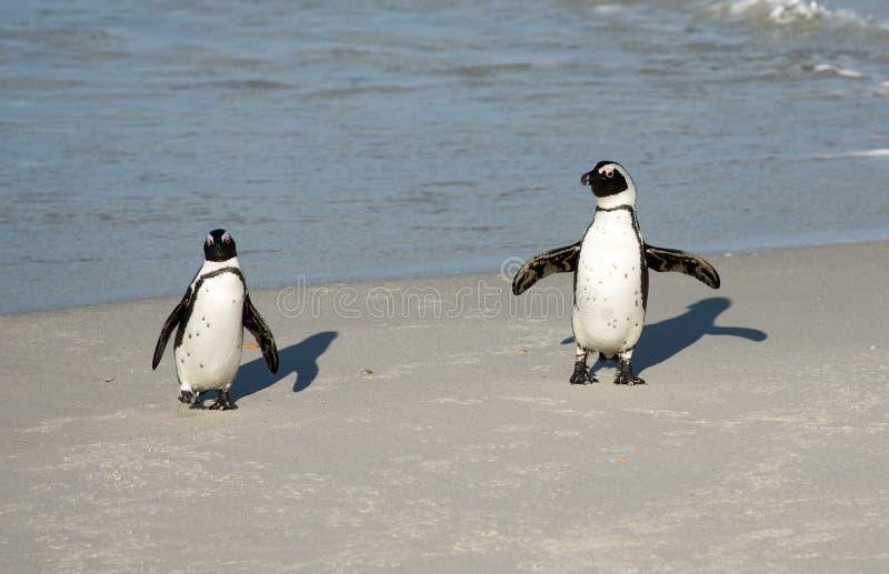 在海滩的两只非洲企鹅 库存照片