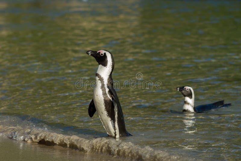 在海滩的两只非洲企鹅 库存图片